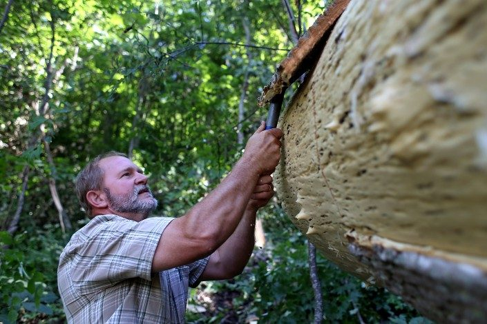 Danny Heatherly, founder of BarkClad, hand-peels bark from the trunk of a Southern Tulip Poplar tree.
